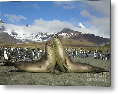 Young S Elephant Seal Playing Metal Print by Yva Momatiuk John Eastcott