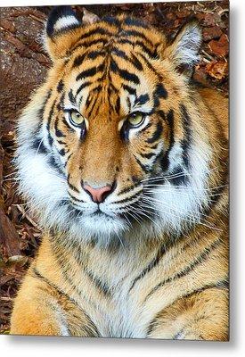 Young Sumatran Tiger Metal Print by Margaret Saheed