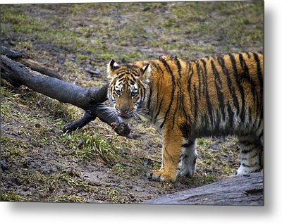 Young Tiger Metal Print by Thomas Woolworth