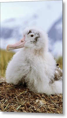 Young Wandering Albatross (diomendea Metal Print by Martin Zwick