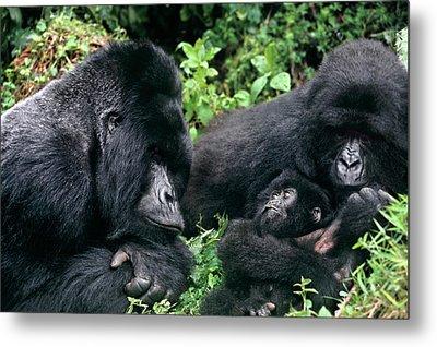 Zaire, Virungas National Park, Virungas Metal Print