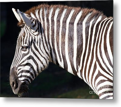 Zebra 7d8908 Metal Print by Wingsdomain Art and Photography
