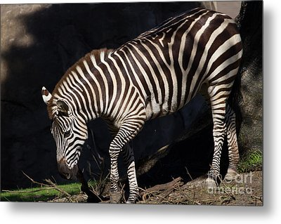Zebra 7d8949 Metal Print by Wingsdomain Art and Photography