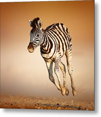 Zebra Calf Running Metal Print
