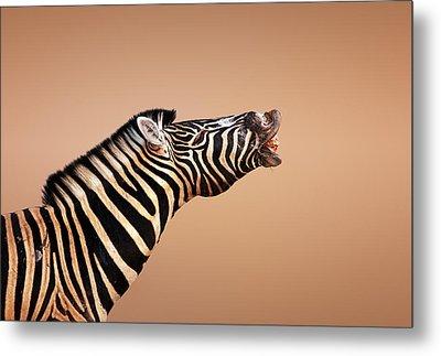 Zebra Calling Metal Print by Johan Swanepoel