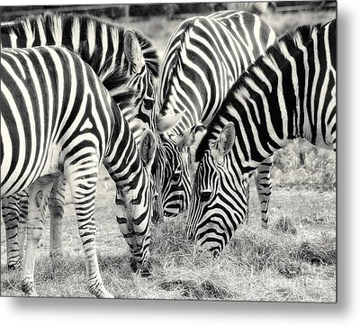 Zebra Dinner Time   Metal Print by Raymond Earley