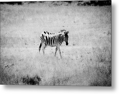 Zebra Explorer Metal Print by Melanie Lankford Photography