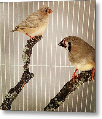 Zebra Finches Metal Print by Christy Beckwith