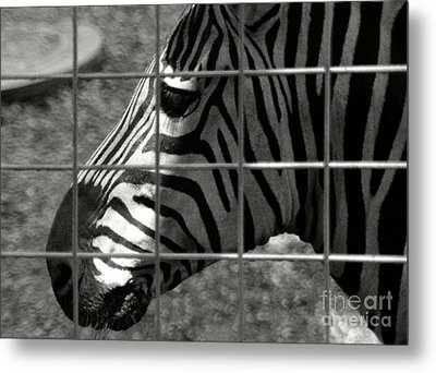 Metal Print featuring the photograph Zebra Grid by Tom Brickhouse