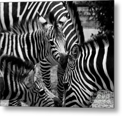 Metal Print featuring the photograph Zebra In A Crowd by Tom Brickhouse