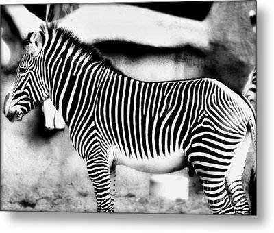 Metal Print featuring the photograph Zebra by Kristine Merc