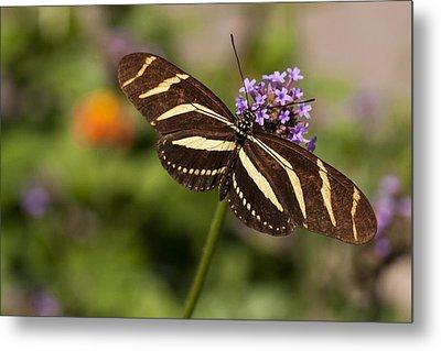 Zebra Longwing Butterfly Metal Print by Adam Romanowicz