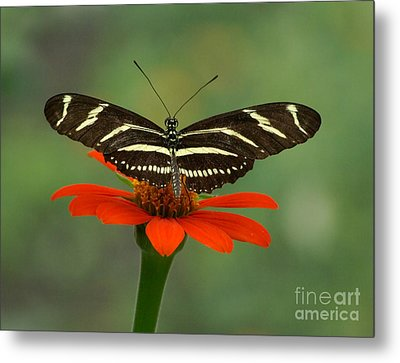 Zebra Longwing Butterfly Metal Print