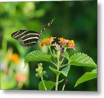 Metal Print featuring the photograph Zebra Longwing by Jane Luxton
