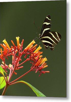 Zebra Longwing On Fire Bush Flowers Metal Print