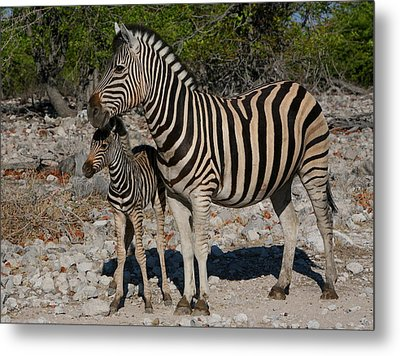 Zebra Mother And Baby Metal Print