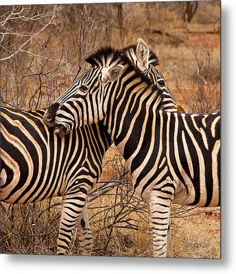 Metal Print featuring the photograph Zebra Pair by Phil Stone