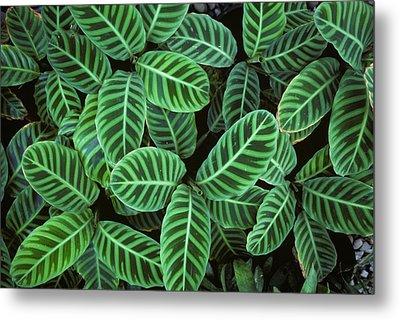 Zebra Plant Leaves Manila Philippines Metal Print by Nigel Cattlin