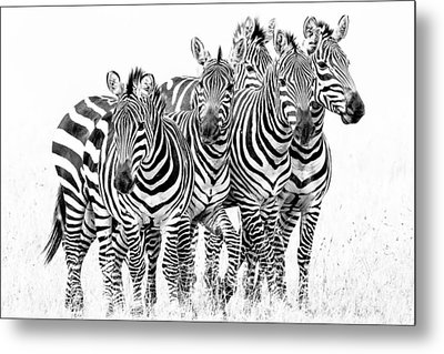Metal Print featuring the photograph Zebra Quintet by Mike Gaudaur