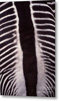 Zebra Stripes Closeup Metal Print