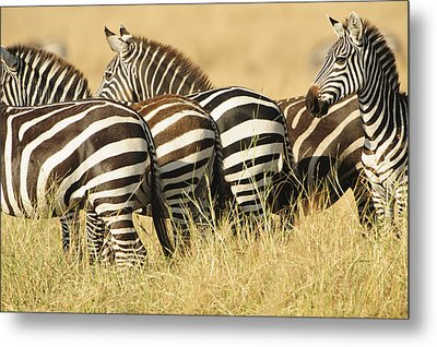 Zebra Stripes Metal Print by Phyllis Peterson
