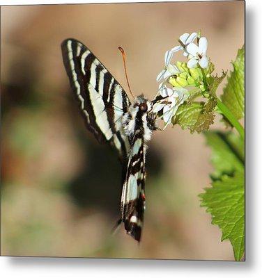 Zebra Swallowtail Metal Print by Candice Trimble
