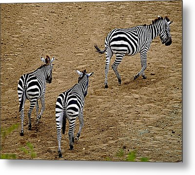Zebra Tails Metal Print by AJ  Schibig