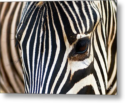 Metal Print featuring the photograph Zebra Vibrations by Charles Lupica