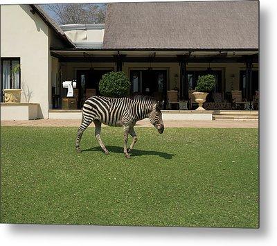 Zebra Walking Across Grass At Royal Metal Print by Panoramic Images