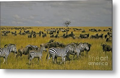 Zebras And Wildebeast   #0861 Metal Print by J L Woody Wooden