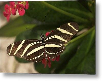 Zebras Can Fly Metal Print by Sandy Molinaro