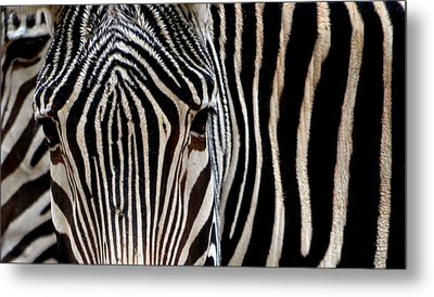 Metal Print featuring the photograph Zebras Face To Face by Nadalyn Larsen