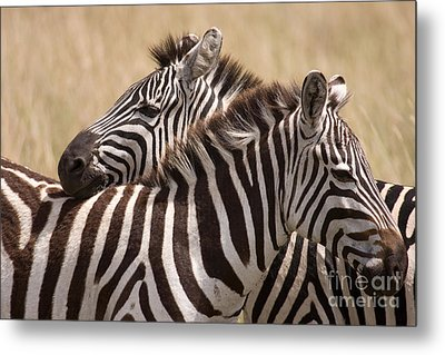 Metal Print featuring the photograph Zebras Friendship by Chris Scroggins