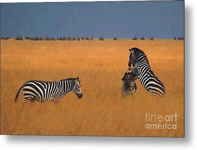 Zebras In Long Grass Metal Print by Liz Leyden