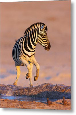 Zebras Jump From Waterhole Metal Print by Johan Swanepoel