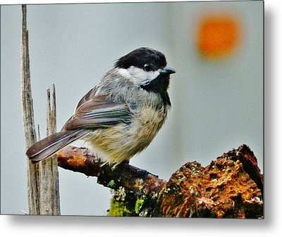 Metal Print featuring the photograph Zen Chickadee by VLee Watson