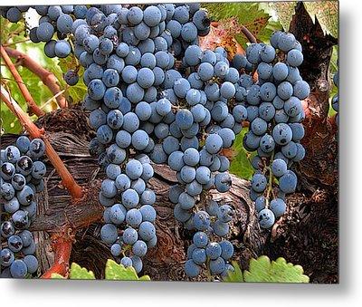 Zinfandel Wine Grapes Metal Print by Charlette Miller
