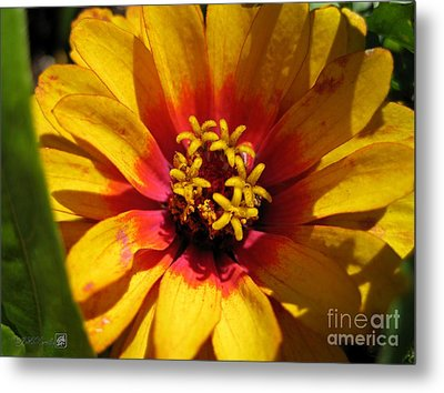 Zinnia Named Swizzle Scarlet And Yellow Metal Print by J McCombie