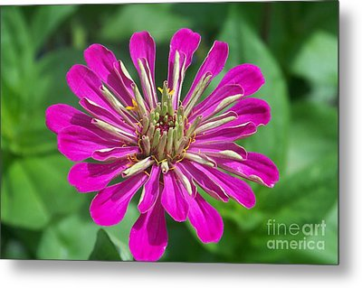 Metal Print featuring the photograph Zinnia Opening by Eunice Miller