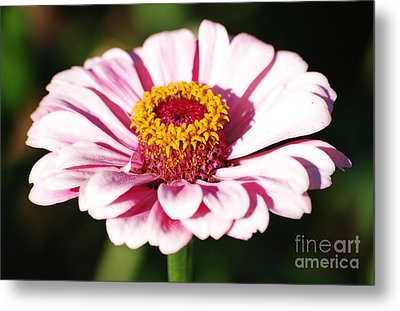 Zinnia Pink Flower Floral Decor Macro Diffuse Glow Digital Art Metal Print by Shawn O'Brien