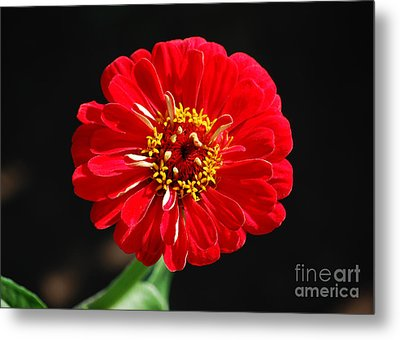 Zinnia Red Flower Floral Decor Macro Metal Print