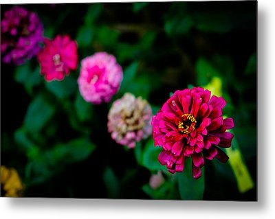 Zinnia Singapore Flower Metal Print by Donald Chen