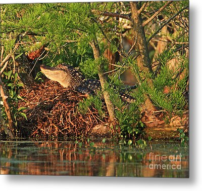 Metal Print featuring the photograph  Alligator On Nest by Luana K Perez