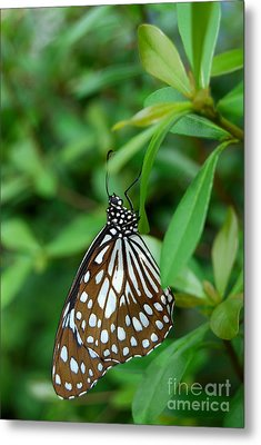 Metal Print featuring the photograph  Blue Tiger Butterfly by Eva Kaufman