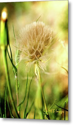 Dandelion Flower Metal Print by Margaret Buchanan
