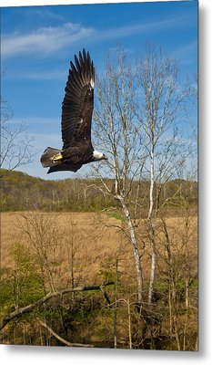 Metal Print featuring the photograph  Eagle Circleing Her Nest by Randall Branham