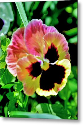 Metal Print featuring the photograph  Pink And Yellow Pansy by Helen Haw