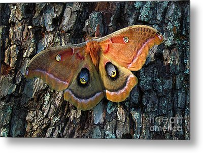 Polyphemus In Morning Light Metal Print by Deborah Johnson