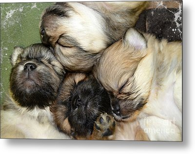 The Gang   Cute Puppies Metal Print by Peggy Franz