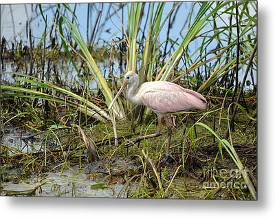Young Roseate Spoonbill Metal Print by Kathy Gibbons
